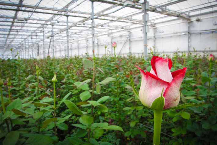 как растет роза фото