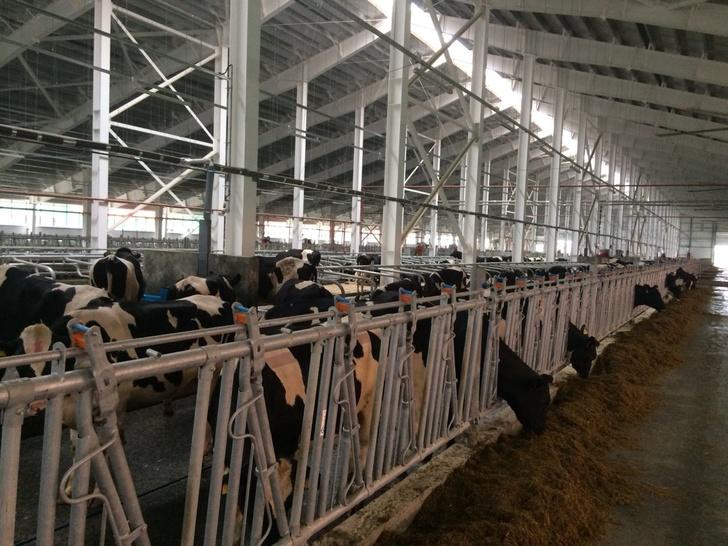 На Сахалин доставили новую партию КРС голштинской породы для строящегося молочного комплекса
