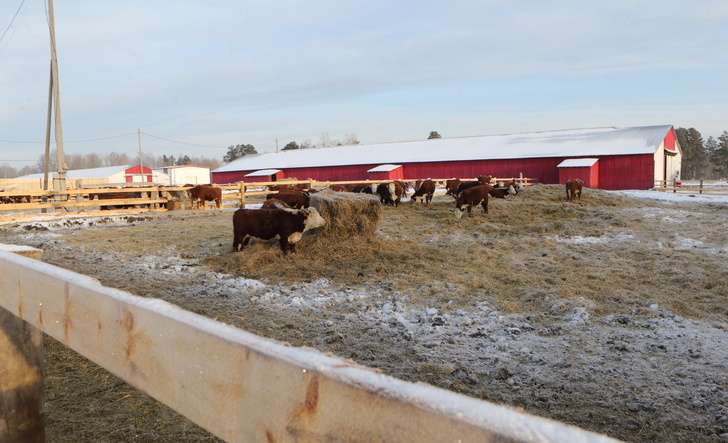Ферма для выращивания герефордов открыта в Томской области