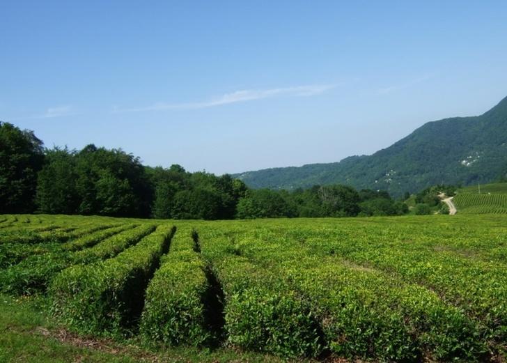 Мацестинская чайная плантация Фото Мацестинская чайная плантация (Мацеста, Россия)