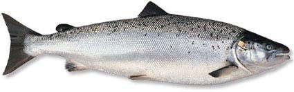 Сёмга, или атлантический лосось