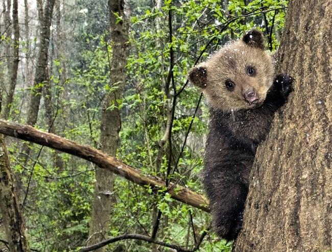До полугода медвежата очень любознательны и ничего не боятся. Позже, когда инстинкт самосохранения просыпается, малыши взбираются на дерево при малейших признаках опасности.