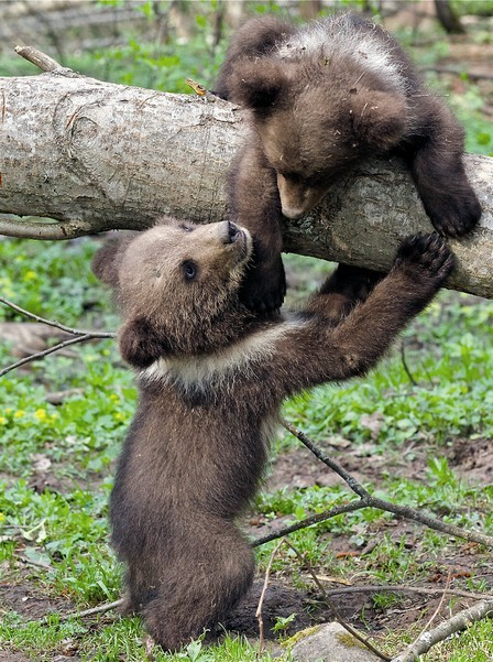 Опыты, в проведении которых принимал участие Валентин Пажетнов, показали: медведи сообразительнее собак и всех наземных хищников. Трудно поверить, но бурые медведи решали задачи, перед которыми пасуют дети до семи лет.