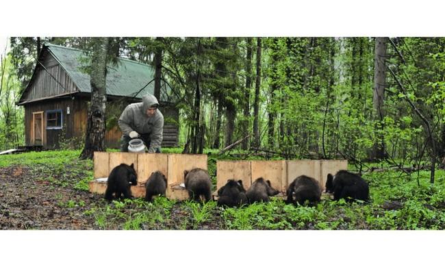 В середине весны трехмесячных малышей переводят из дома в вольер в лесу (медвежат в вольере кормит Сергей Пажетнов). Автор: Сергей Пажетнов, Михаил Самохин/IFAW