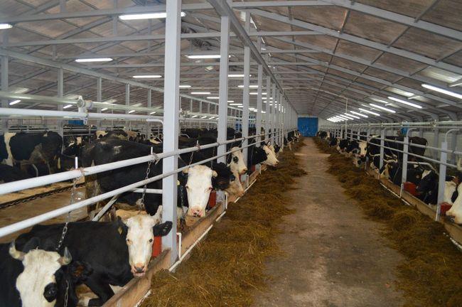 ферма крупный рогатый скот