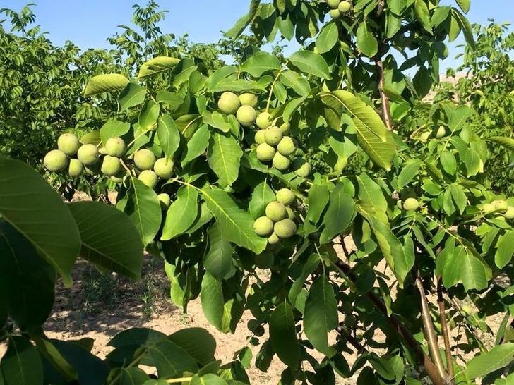 В Адыгее начали выращивать грецкие орехи в промышленных масштабах