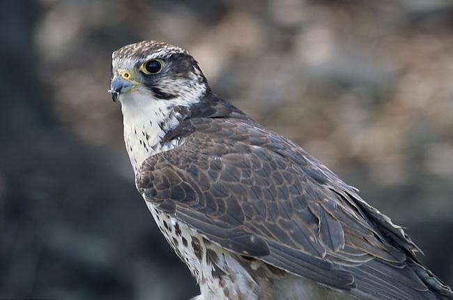 http://upload.wikimedia.org/wikipedia/commons/0/0c/Falco_cherrug_%28Marek_Szczepanek%29.jpg