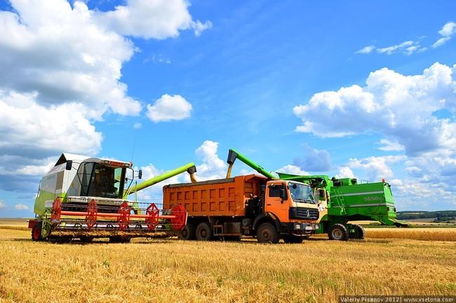 Белгородская область: 39% урожая пшеницы - продовольственного качества