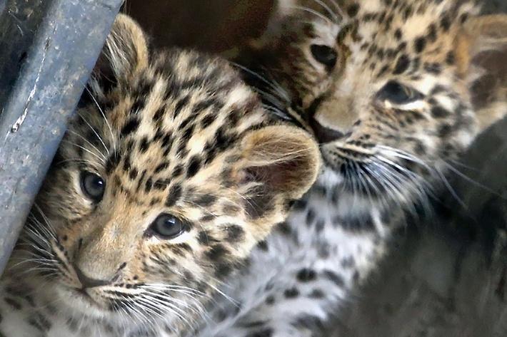 Детеныши дальневосточного леопарда