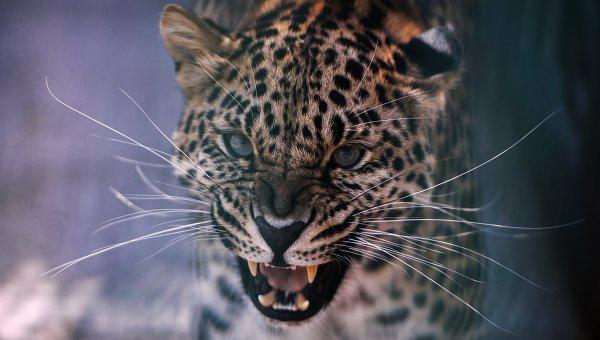 Леопард. Архивное фото © РИА Новости. Алексей Мальгавко