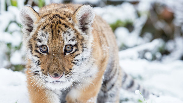 Амурский тигренок, архивное фото