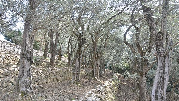 Оливковые рощи Никитского ботанического сада