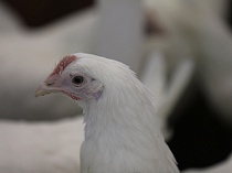 В России растет производство мяса птицы