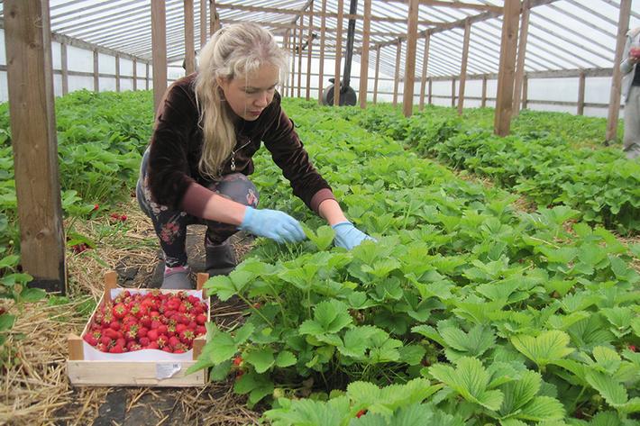 В Калининградской области в 3,5 раза выросли посевы клубники