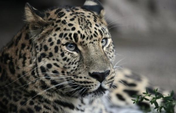 Возвращение леопарда: ученые восстанавливают численность редчайших кошек