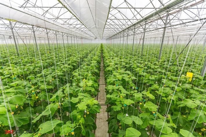 Минсельхоз России: собрано 266,1 тыс. тонн тепличных овощей