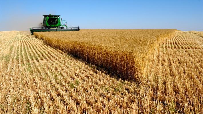 Картинки по запросу пшеница фото