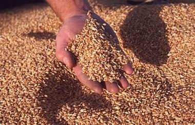 Египет снова закупил только российскую пшеницу