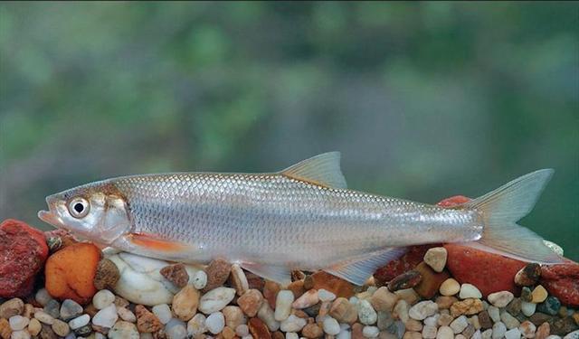 Шемая Дунайская (Chalcalburnus chalcoides mento (Agassiz, 1832)) - 30 Ноября 2009 - Обитатели наших широт - Сайт любителей актив